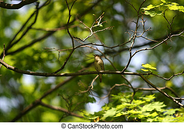 Nightingale - The nightingale sits on a branch of a tree...