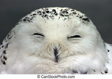 Snow owl - Close up of dreamy snow owl