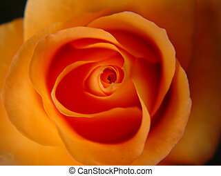 Abstract Peach Rose - Abstract image of a peach colored...
