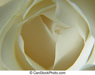 Abstract White Rose - Macro image of a dozen red rozes with...