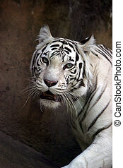 White tiger - Illustration to magazine about animals White...