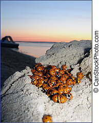 Lot of ladybugs on sunrise in sea