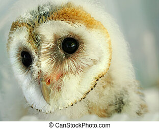 Baby Owl - Face of a new born baby barn owl.