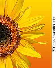 Golden Sunflower Beauty - Half a sunflower isolated on a...