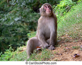 Japanese Macaque in - Japanese monkey (Japanese Macaque) in...