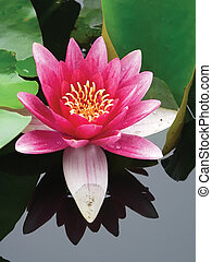 close-up lotus flowe - blossom lotus flower in Japanese pond