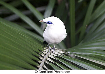 Bali starling Leucopsar rothschildi - also known as Bali...
