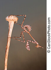 Mantis - mantis empusa pennata in a little twig