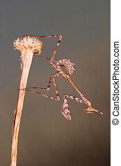 Mantis - mantis (empusa pennata) in a little twig