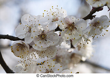 apricot\\\'s bloom