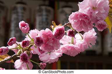 Plum Blossoms - Plum blossoms on a branch in front of...