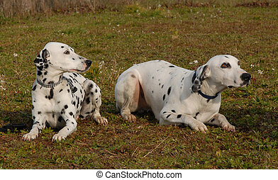 two dalmatians - two dogs purebred dalmatians laid down in a...