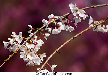 Blossom Branch - Plum blossoms in front of lanterns covered...