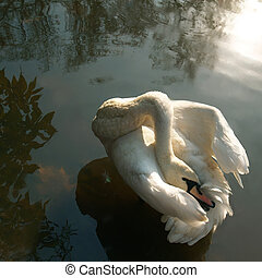swan dance - white swan on the forest lake