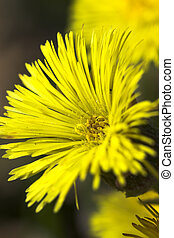 flower of coltsfoot - extreme close up flower of sow-foot in...
