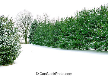 Evergreen Pines in the White Winter Snow - Green Pines in...