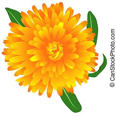 Marigold Calendula oficinalis - High detailed illustration