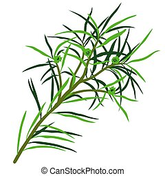 Tea Tree Melaleuca alternifolia - High detailed and coloured...