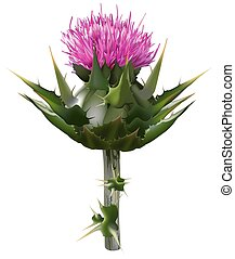 Milk thistle Silybum marianum - High detailed and coloured...