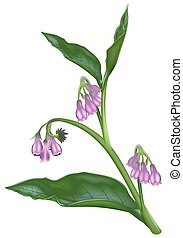Comfrey Symphytum officinale - High detailed and coloured...
