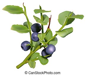 Blueberries - High detailed and coloured illustration