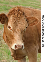 Brown Cow - Face and upper body of a brown cow.