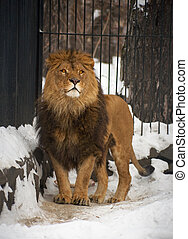 Lion in the Novosibirsk ZOO, January 2007