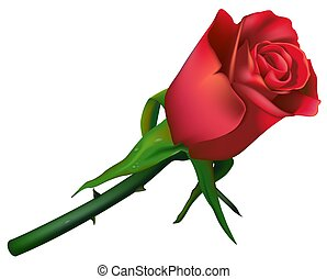 Wedding Rose Red - High detailed and coloured illustration