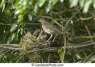 Mother Song Thrush - A Song thrush mother feeding her hungry...
