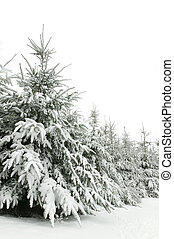 Snow trees - Winter scene of snow covered fir trees