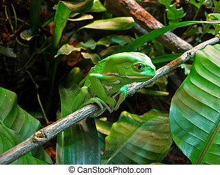 Contemplative Frog - green waxy monkey tree frog sits on...