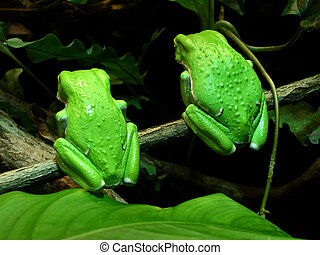 Twin Tree Frogs - two waxy monkey tree frogs Phyllomedusa...
