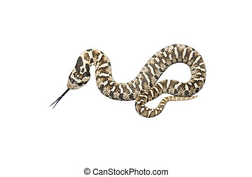 Serpent - a slithering snake with its tongue out