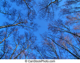 round dance of trees - birches forest on the blue sky...