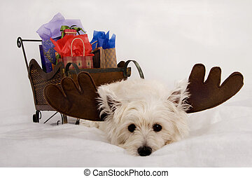 Wore out Westie Reindeer - West Highland Terrier wearing...
