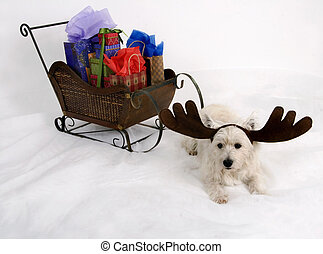 Doggone reindeer - West Highland Terrier wearing reindeer...