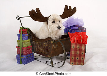 Reindog on a sleigh - West Highland Terrier with play...
