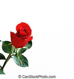 One Red Rose - A beautiful red rose bud on a white...
