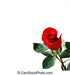 Rosebud - One beautiful red rose bud on a white background...