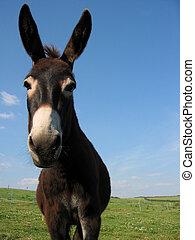 Pet donkey - Farmland and Grazing Donkey - Overcast Blue Sky