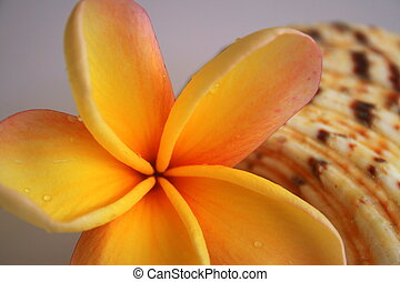 Shell and Flower - A bright franigpani flower and a...