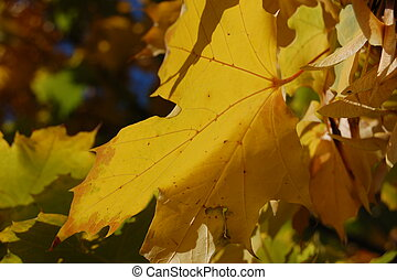 Fall Leaf - A close-up of a fall leaf on a tree in the...
