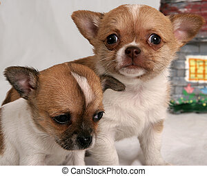 Wide-eyed puppy - Pair of chihuahua puppies