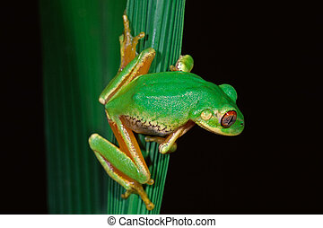 Forest tree frog Leptopelis natalensis, South Africa