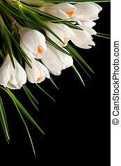 White crocus - Beautiful white crocus on a black background