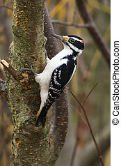 Woody - hairy woodpecker