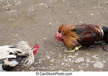 gallo, pelea