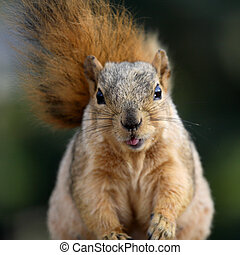 Cute Squirrel - Cute squirrel sticking her tongue out