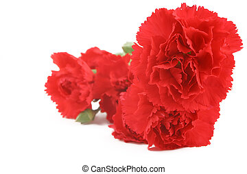 red carnation - bunch of beautiful red carnations on white...