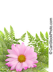 pink daisy - a pink daisy and leaves with copy space